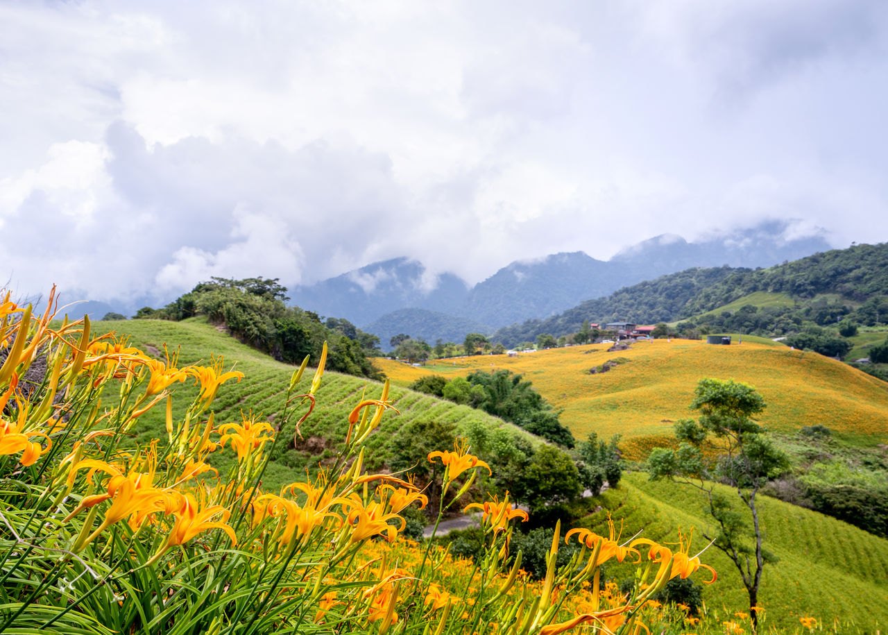beauty in nature, plant, sky, scenics - nature, cloud - sky, landscape, tranquil scene, growth, environment, tranquility, land, field, nature, green color, mountain, flower, day, yellow, flowering plant, no people, outdoors, rolling landscape, plantation