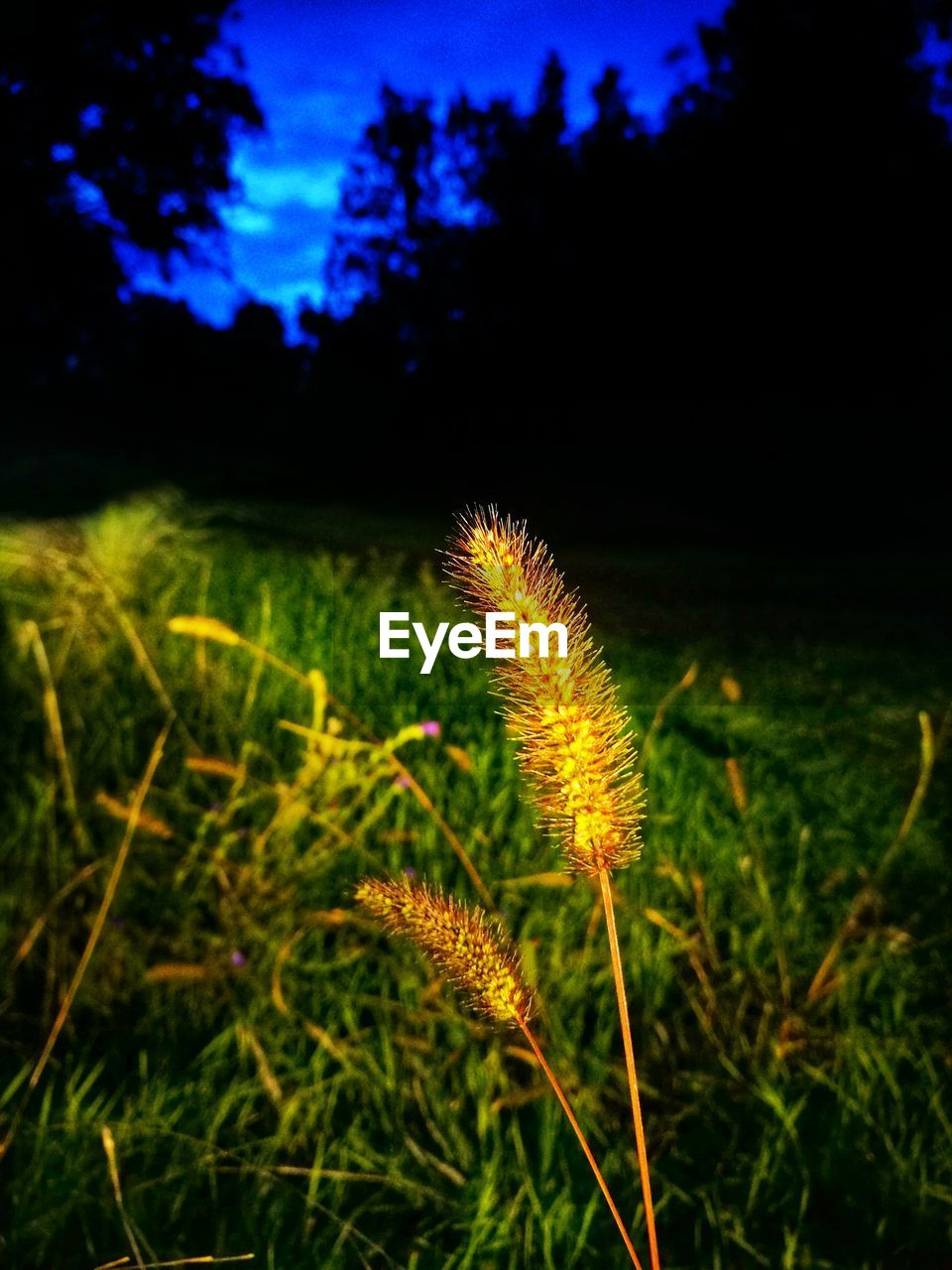 growth, nature, green color, field, plant, beauty in nature, focus on foreground, night, no people, outdoors, tranquility, grass, scenics, agriculture, freshness, close-up, fragility, sky