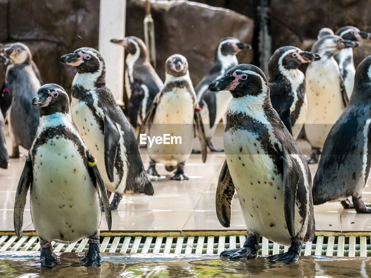 bird, animal themes, animal, group of animals, vertebrate, animals in the wild, animal wildlife, day, focus on foreground, no people, large group of animals, penguin, nature, outdoors, close-up, animals in captivity, perching, metal, flock of birds