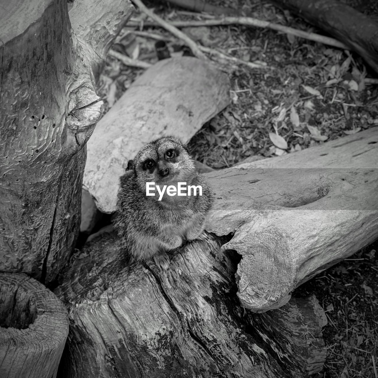animal themes, one animal, animal, animal wildlife, animals in the wild, mammal, vertebrate, wood - material, tree, no people, day, close-up, tree trunk, rodent, nature, outdoors, trunk, log, plant, wood