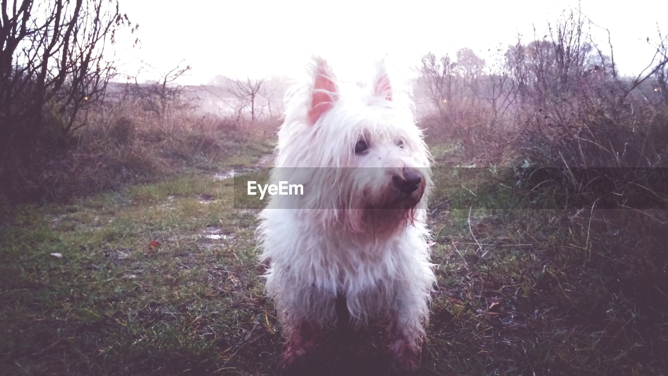 domestic animals, mammal, animal themes, pets, one animal, dog, grass, field, landscape, grassy, nature, no people, livestock, standing, day, tree, outdoors, animal head, animal hair, sticking out tongue