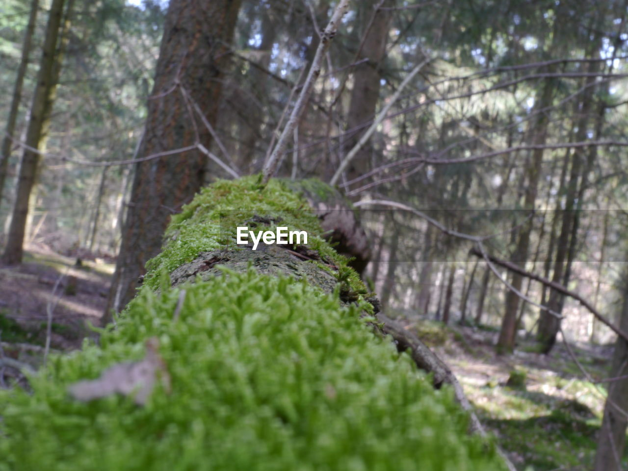 tree, forest, nature, moss, no people, day, green color, tree trunk, tranquility, outdoors, beauty in nature, tranquil scene, growth, plant, focus on foreground, scenics, close-up, branch