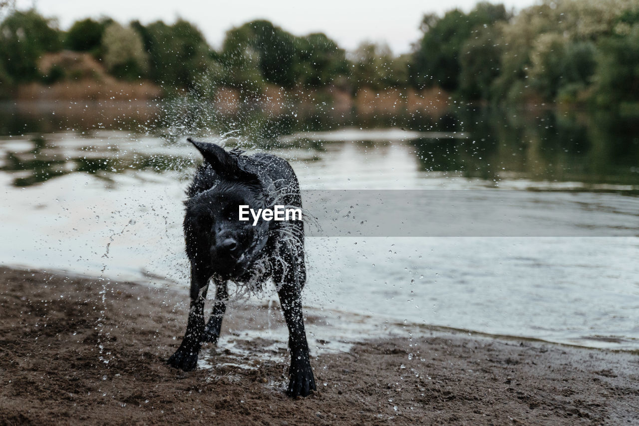 Dog shaking fur while standing by lake