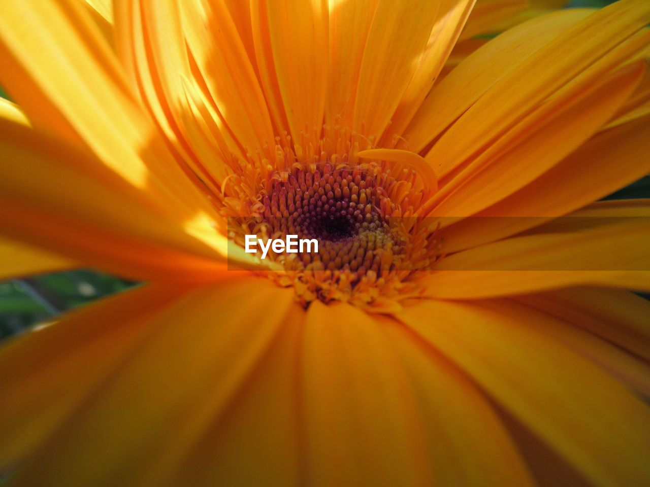 flowering plant, flower, petal, flower head, beauty in nature, vulnerability, freshness, inflorescence, fragility, growth, plant, close-up, pollen, no people, nature, day, yellow, full frame, outdoors, gazania