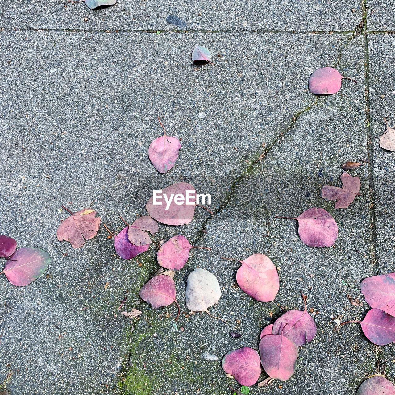 HIGH ANGLE VIEW OF PINK ROSE ON STREET