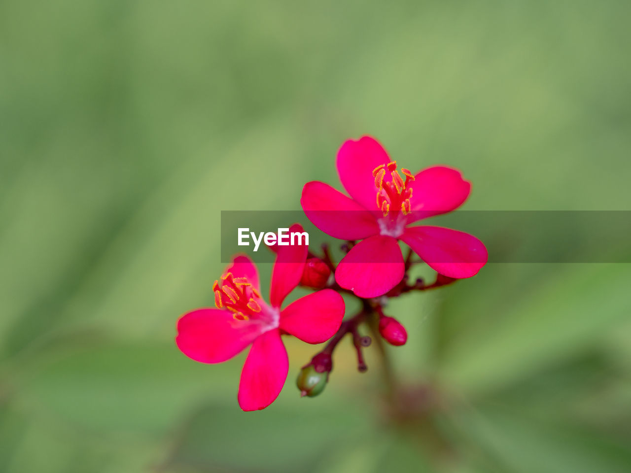 flowering plant, flower, plant, beauty in nature, vulnerability, fragility, close-up, petal, growth, freshness, pink color, flower head, inflorescence, no people, day, nature, focus on foreground, selective focus, outdoors, botany
