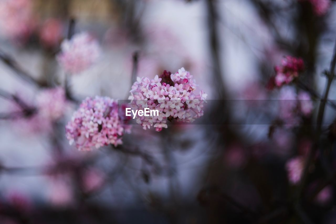 flower, flowering plant, fragility, plant, freshness, vulnerability, growth, beauty in nature, pink color, selective focus, close-up, nature, no people, day, outdoors, botany, tree, petal, blossom, flower head, springtime, purple, lilac, cherry blossom