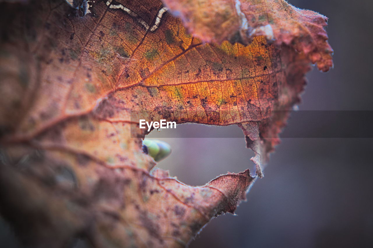 autumn, change, plant part, leaf, close-up, nature, no people, orange color, plant, selective focus, beauty in nature, dry, day, tree, leaf vein, outdoors, brown, vulnerability, fragility, focus on foreground, leaves, maple leaf, natural condition, autumn collection, fall, dried