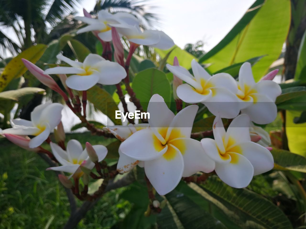 flower, flowering plant, plant, beauty in nature, freshness, vulnerability, fragility, growth, petal, flower head, white color, inflorescence, close-up, nature, frangipani, no people, day, focus on foreground, outdoors, botany