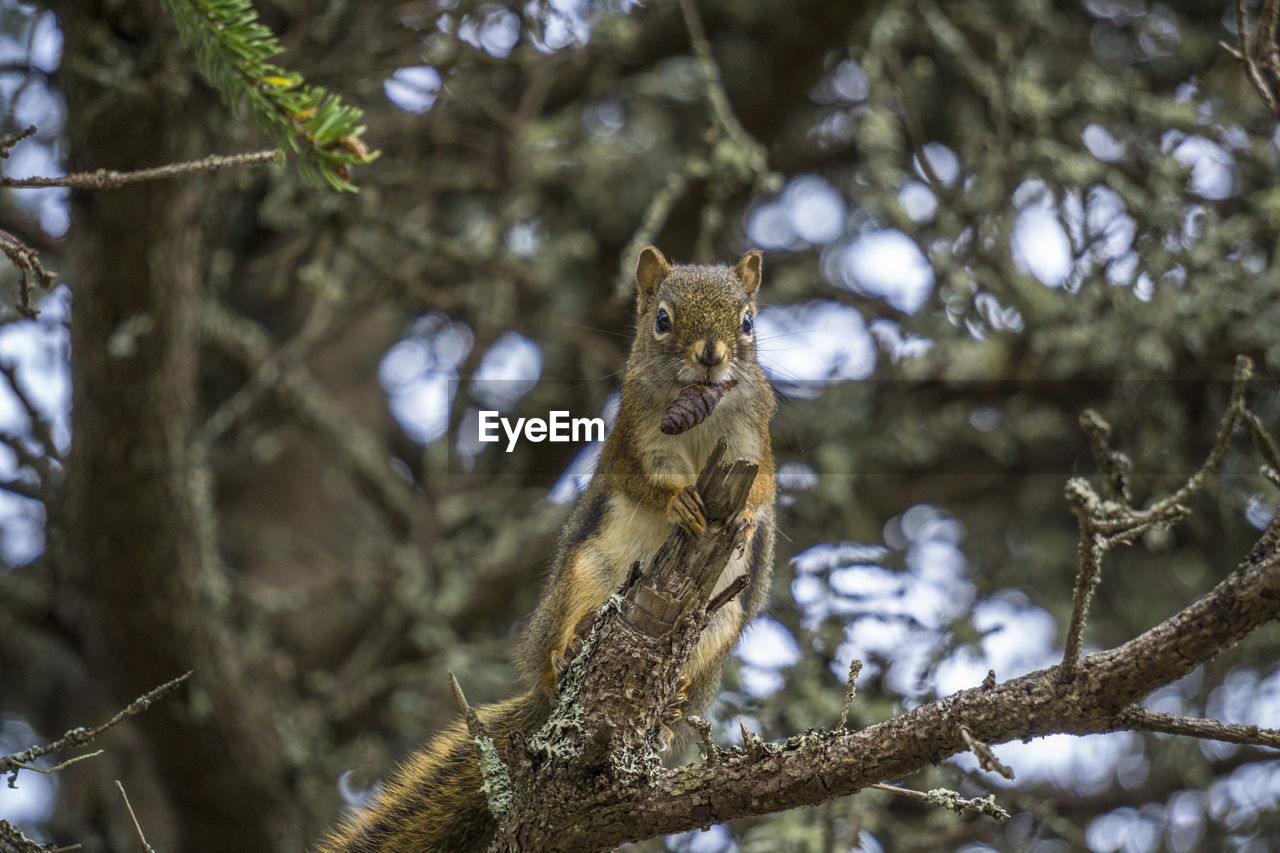 animal themes, tree, animal, animal wildlife, one animal, animals in the wild, mammal, branch, plant, vertebrate, no people, low angle view, nature, squirrel, focus on foreground, day, looking away, rodent, looking, outdoors, whisker