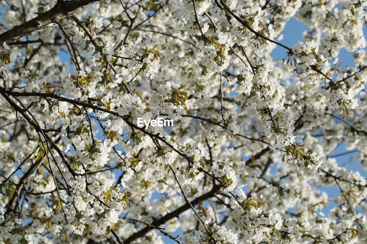 flower, blossom, springtime, tree, branch, fragility, beauty in nature, freshness, apple blossom, cherry blossom, apple tree, growth, nature, low angle view, botany, orchard, white color, cherry tree, almond tree, twig, day, no people, backgrounds, petal, outdoors, selective focus, close-up, spring, full frame, flower head, sky
