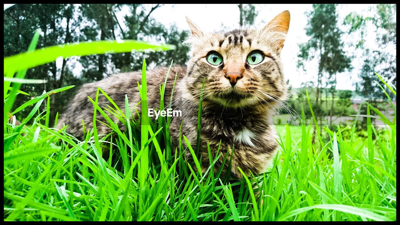 domestic cat, grass, animal themes, one animal, looking at camera, pets, portrait, feline, domestic animals, no people, green color, day, outdoors, mammal, nature, close-up