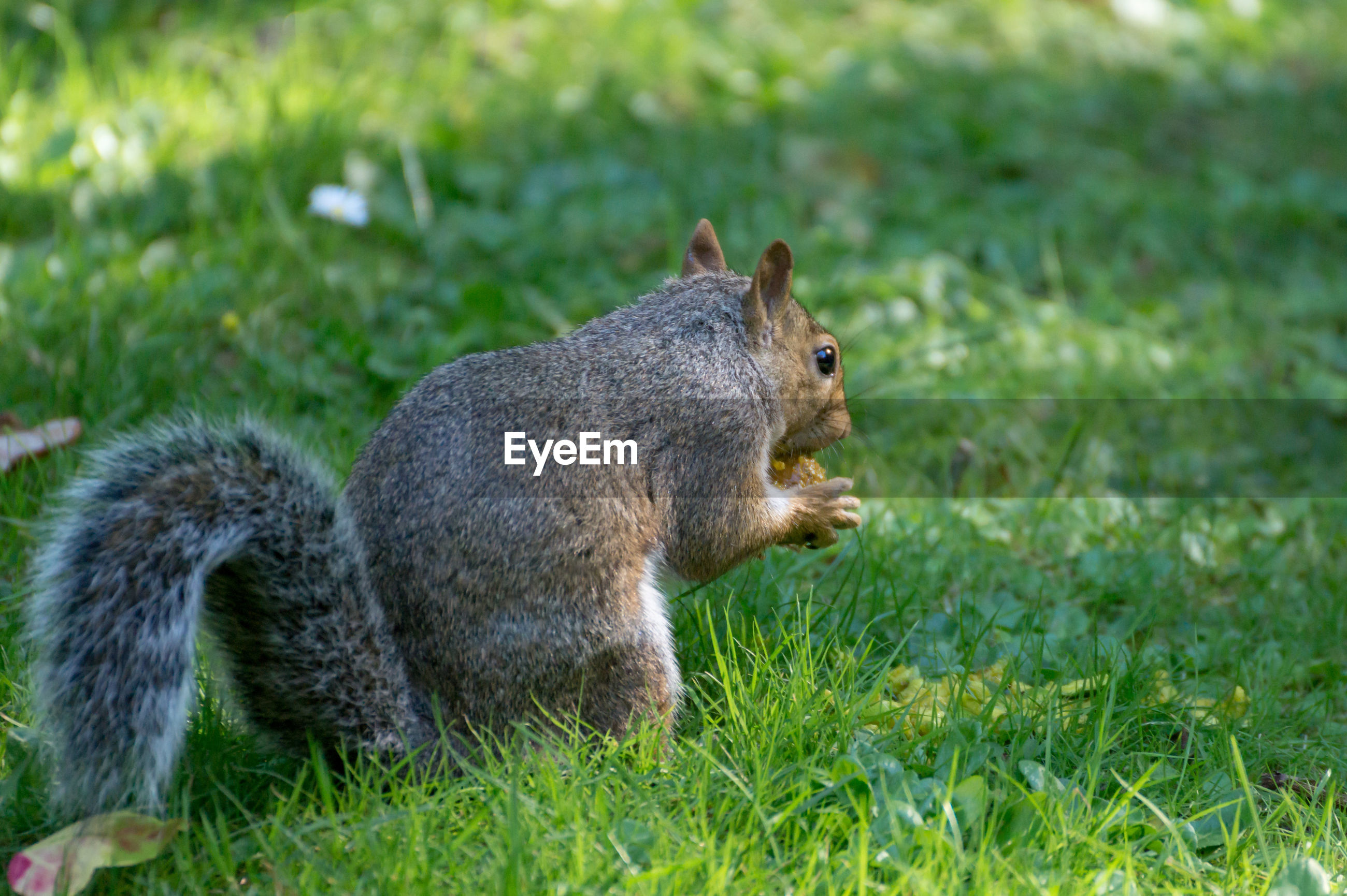 Squirrel eating food on field