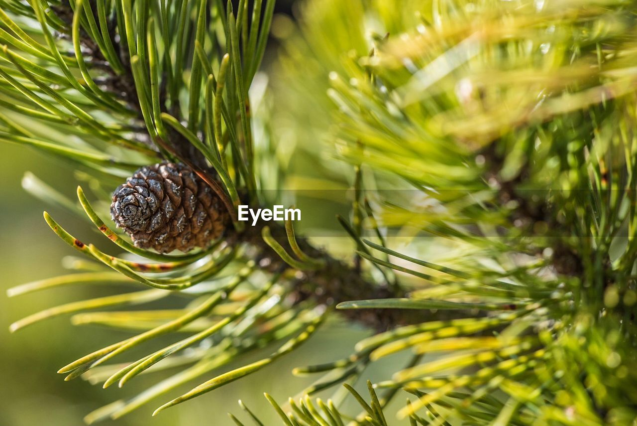 green color, plant, selective focus, close-up, nature, no people, growth, pine tree, tree, day, pine cone, needle - plant part, leaf, coniferous tree, plant part, branch, animal, beauty in nature, outdoors, animal wildlife, leaves