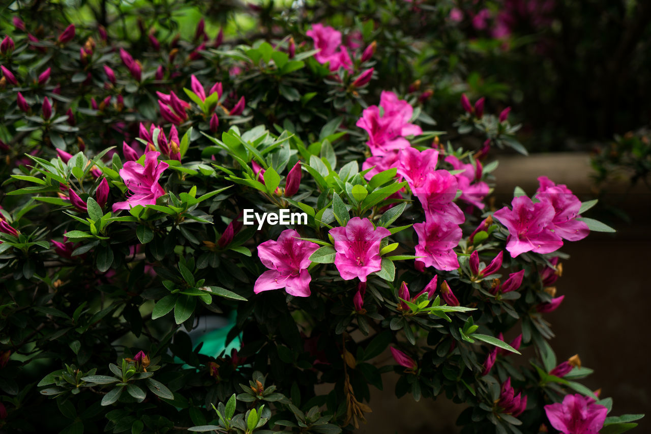 flower, flowering plant, plant, beauty in nature, pink color, vulnerability, fragility, freshness, petal, growth, close-up, inflorescence, plant part, leaf, flower head, nature, green color, outdoors, no people, day