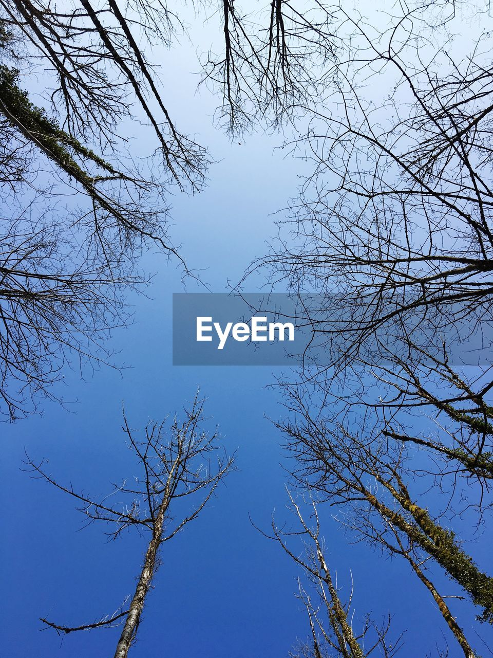 tree, sky, bare tree, branch, low angle view, plant, no people, nature, tranquility, beauty in nature, clear sky, day, blue, outdoors, growth, scenics - nature, tranquil scene, non-urban scene, autumn, directly below, tree canopy