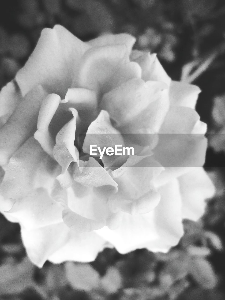 beauty in nature, flowering plant, flower, vulnerability, fragility, close-up, inflorescence, flower head, plant, petal, freshness, nature, growth, rose, no people, focus on foreground, rose - flower, outdoors, day, purity, soft focus, spring