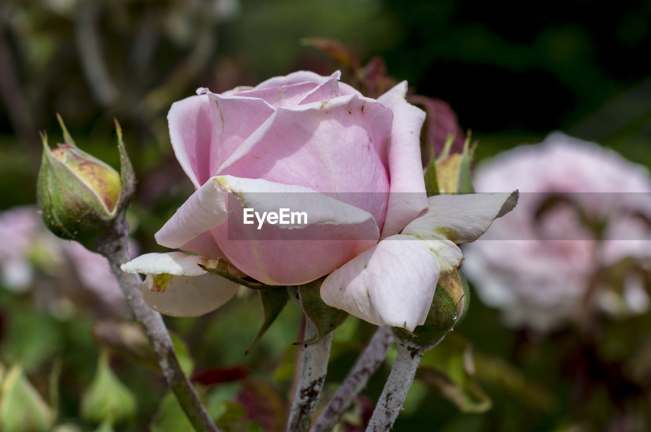 flower, petal, nature, beauty in nature, growth, fragility, close-up, plant, focus on foreground, flower head, no people, outdoors, pink color, freshness, day, blooming