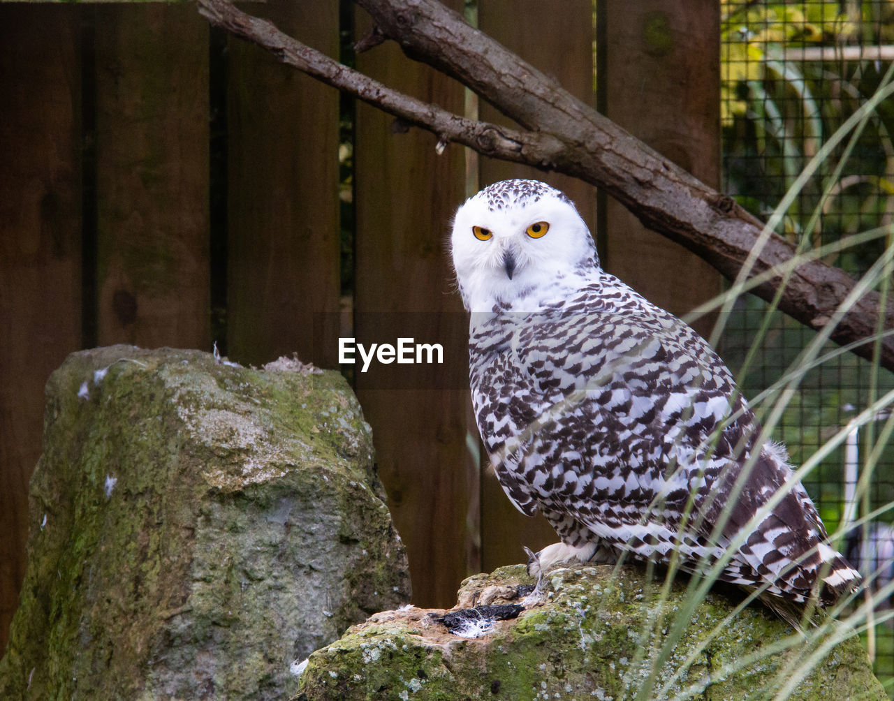vertebrate, animal, bird, animal themes, animal wildlife, bird of prey, one animal, animals in the wild, perching, owl, no people, day, animals in captivity, nature, looking at camera, portrait, wood - material, fence, barrier, focus on foreground, falcon - bird
