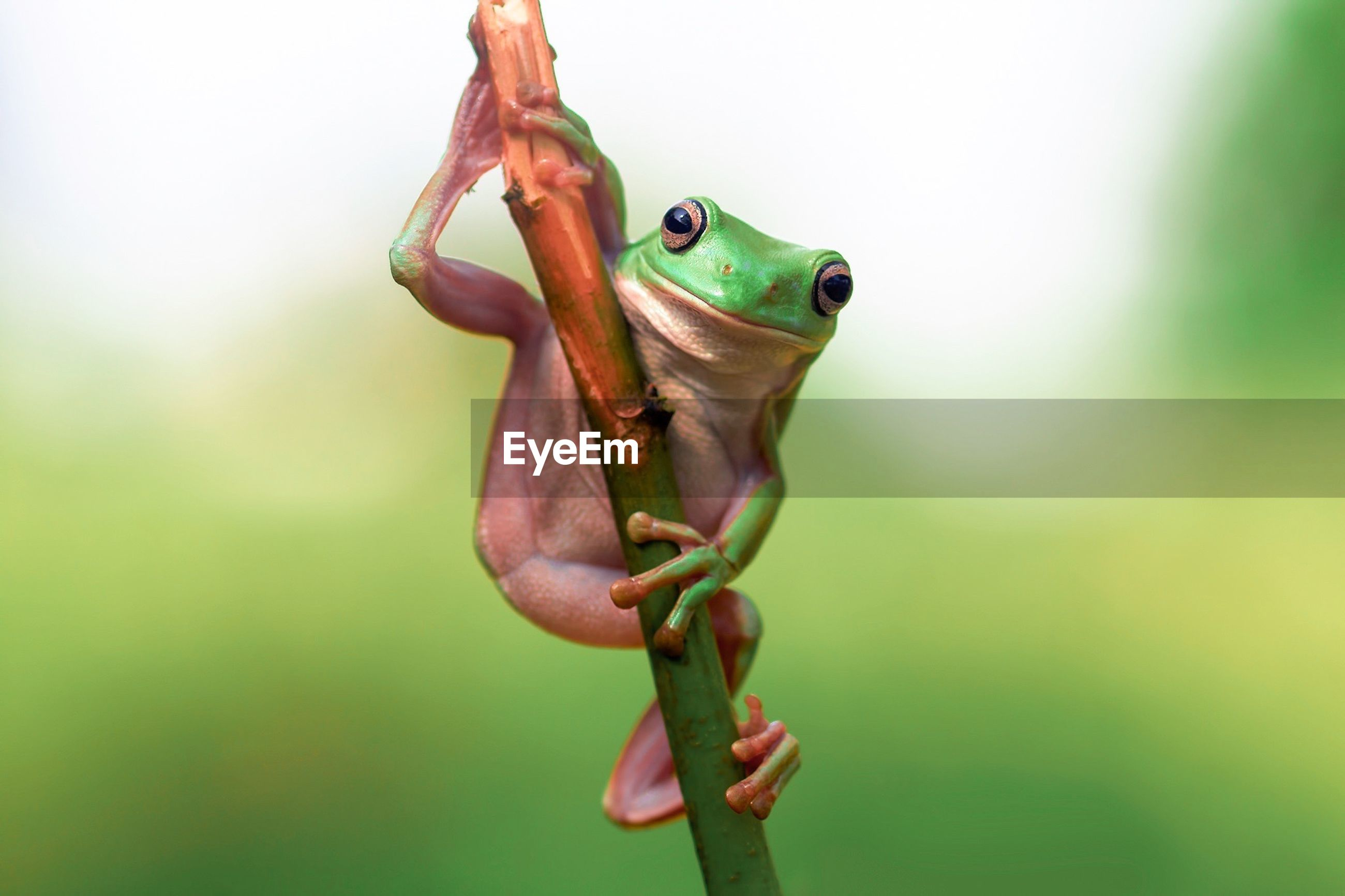 Close-up of tree frog on bamboo