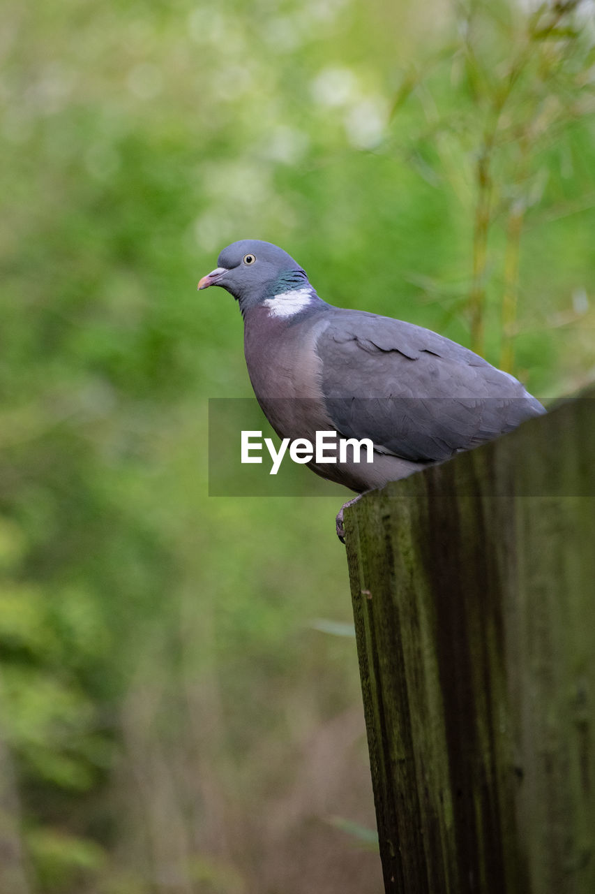 bird, vertebrate, animal themes, animal, one animal, animal wildlife, animals in the wild, perching, day, focus on foreground, no people, wood - material, outdoors, close-up, nature, plant, side view, boundary, full length, selective focus, wooden post