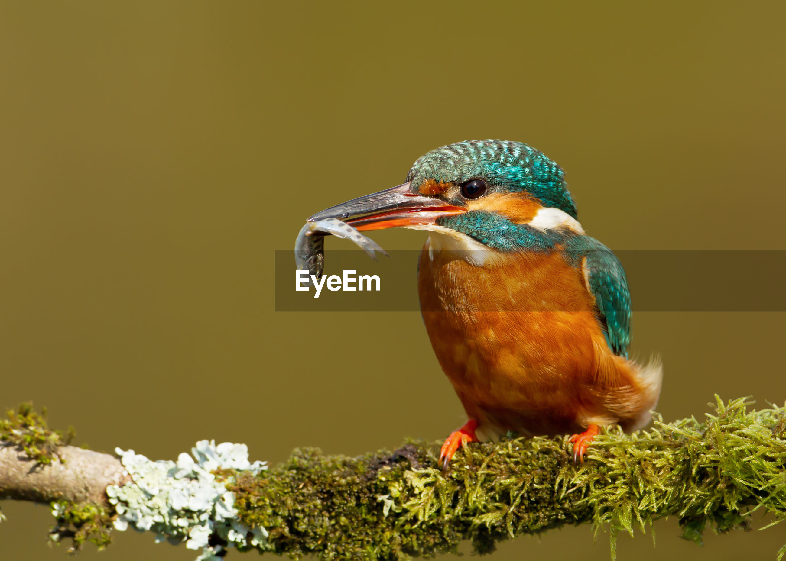 Close-up of kingfisher perching on tree branch