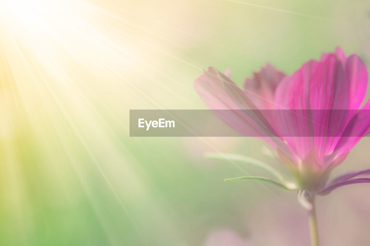 flower, flowering plant, plant, beauty in nature, freshness, fragility, vulnerability, close-up, pink color, petal, growth, nature, no people, selective focus, day, flower head, focus on foreground, inflorescence, outdoors, sepal, brightly lit