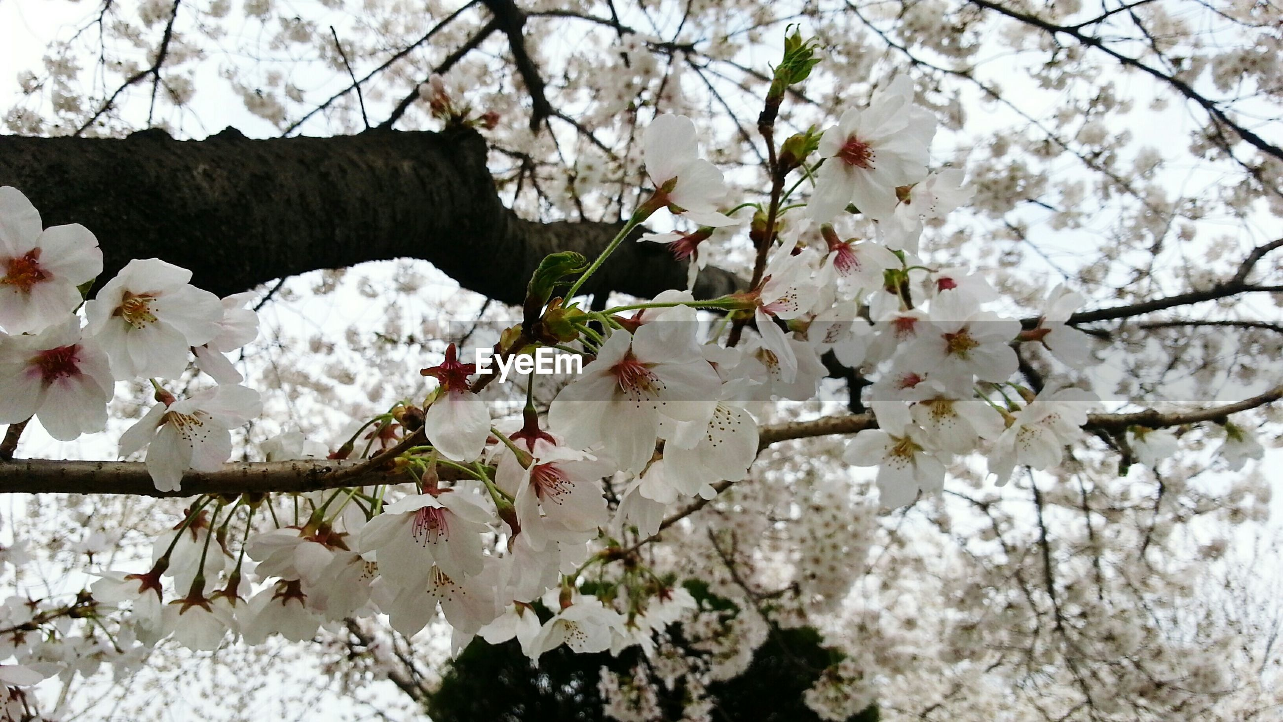 branch, flower, tree, cherry blossom, freshness, blossom, cherry tree, growth, fragility, white color, beauty in nature, nature, low angle view, fruit tree, apple tree, apple blossom, twig, springtime, in bloom, orchard