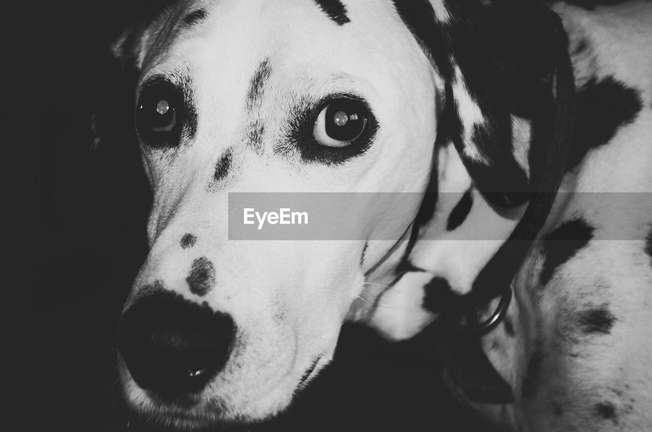 dog, canine, one animal, pets, domestic animals, animal, mammal, domestic, animal themes, vertebrate, close-up, no people, portrait, indoors, dalmatian dog, animal body part, looking at camera, animal head, focus on foreground, home interior, snout, animal nose