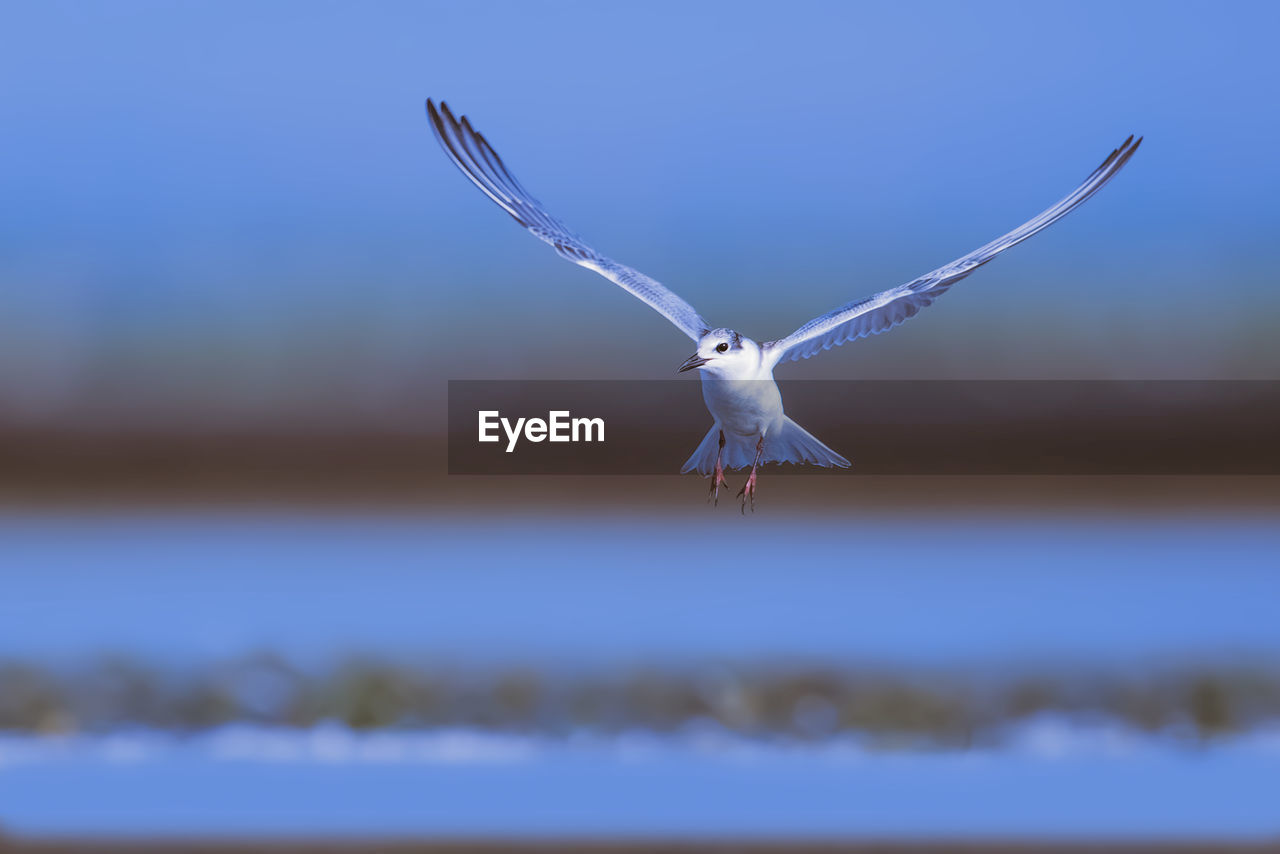 animal themes, animals in the wild, flying, animal wildlife, animal, one animal, spread wings, vertebrate, bird, mid-air, nature, no people, sky, day, blue, focus on foreground, selective focus, motion, outdoors, seagull