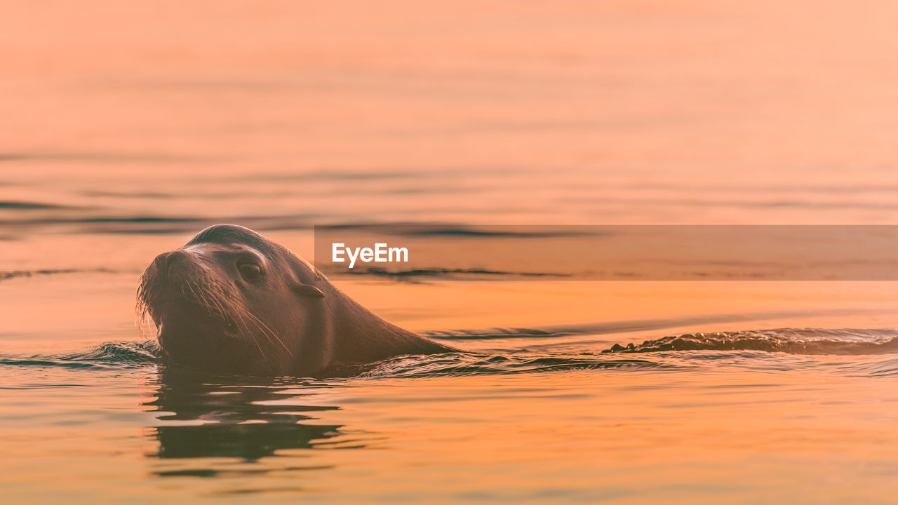 Seal swimming in sea during sunset