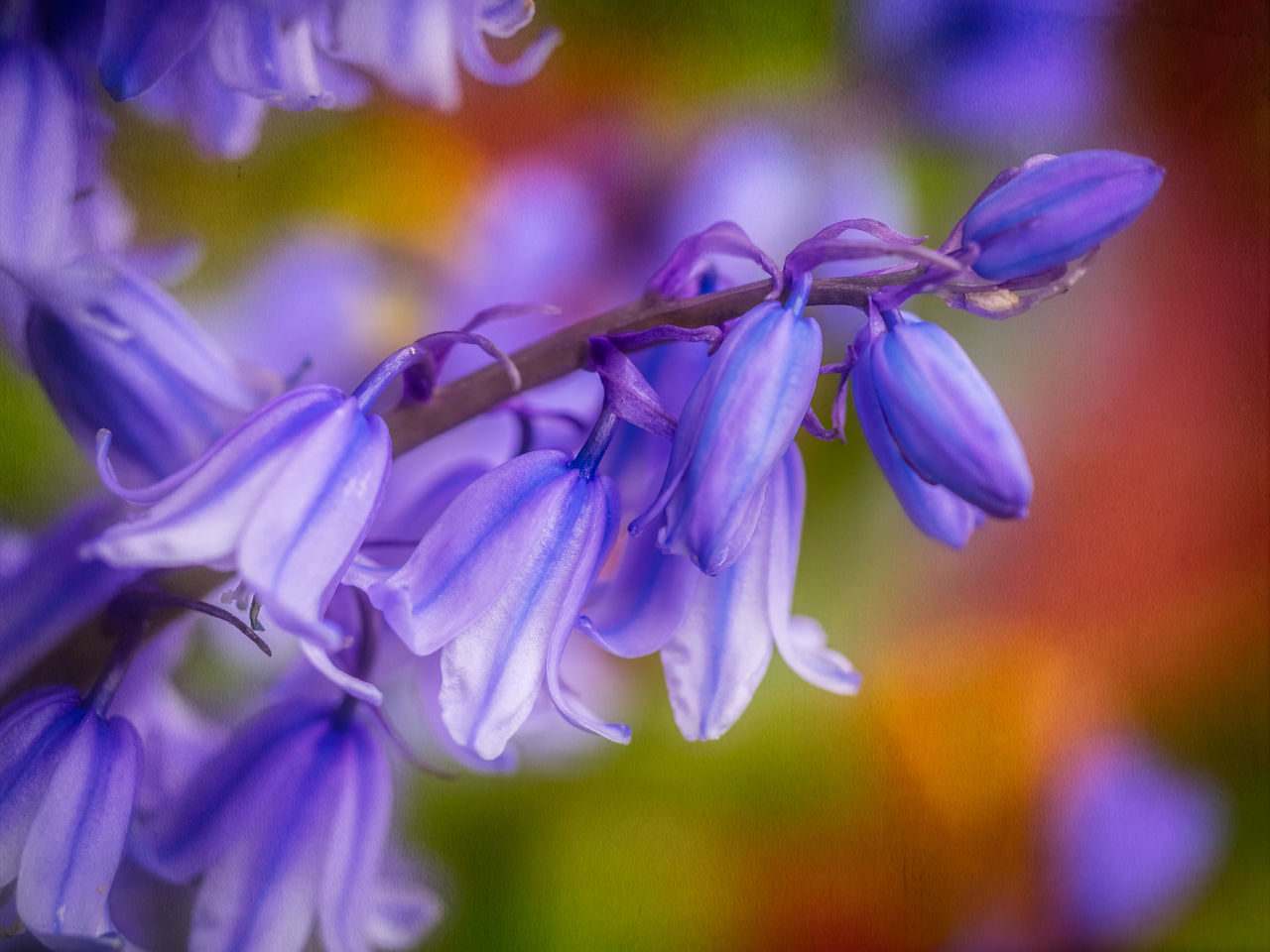 flowering plant, flower, plant, beauty in nature, petal, vulnerability, freshness, fragility, purple, growth, close-up, focus on foreground, inflorescence, flower head, no people, selective focus, nature, day, botany, outdoors