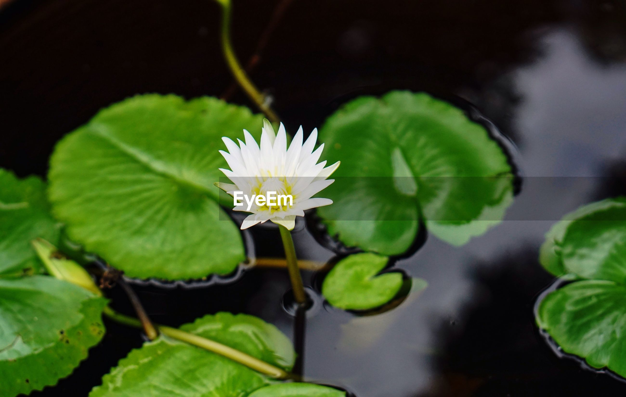 CLOSE-UP OF LOTUS WATER LILY BLOOMING IN POND