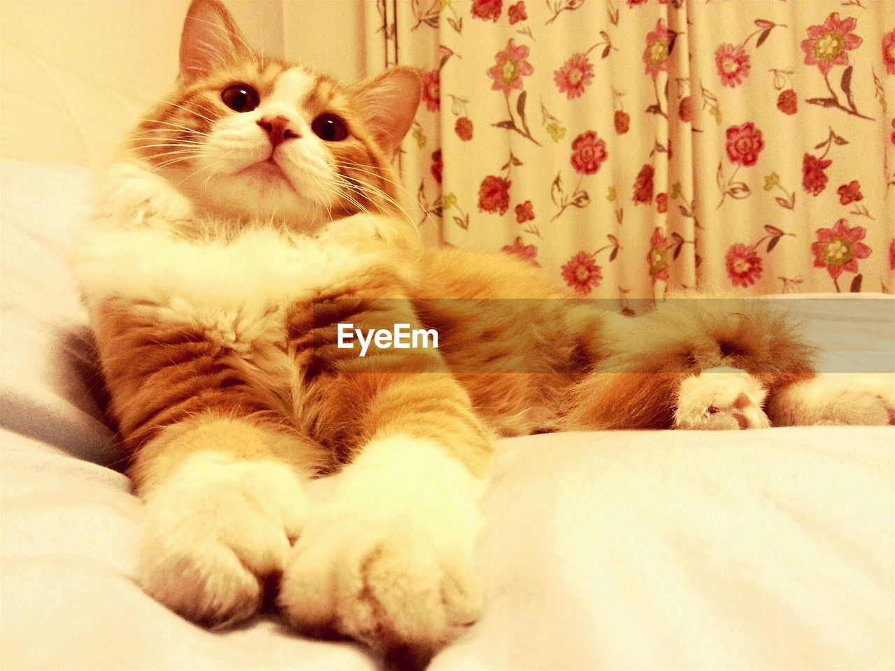 domestic cat, pets, animal themes, domestic animals, one animal, feline, indoors, mammal, no people, whisker, persian cat, looking at camera, close-up, day