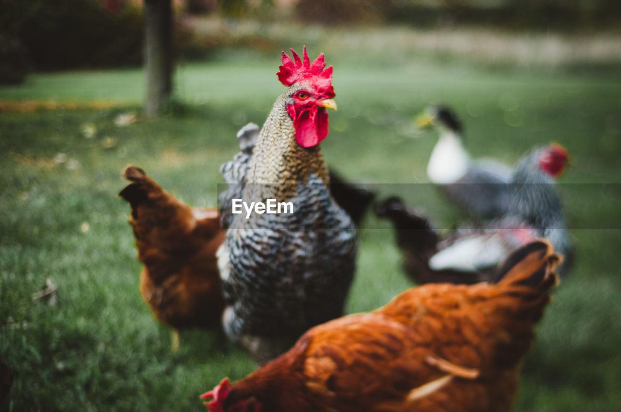 Chicken Standing On Field
