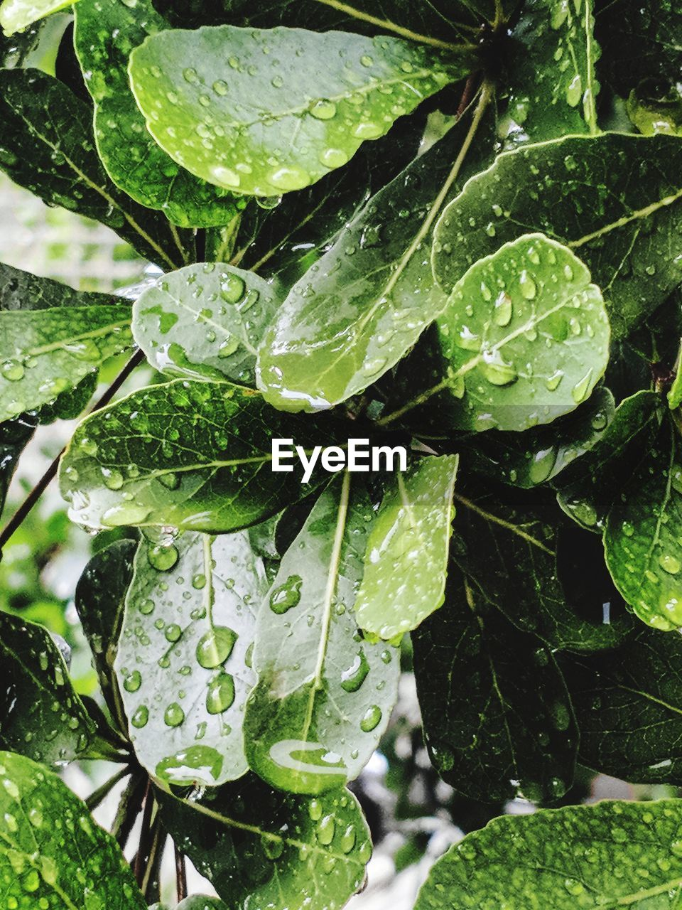 drop, leaf, plant part, growth, water, wet, plant, green color, close-up, nature, beauty in nature, no people, day, rain, raindrop, freshness, dew, focus on foreground, outdoors, leaves, rainy season, purity