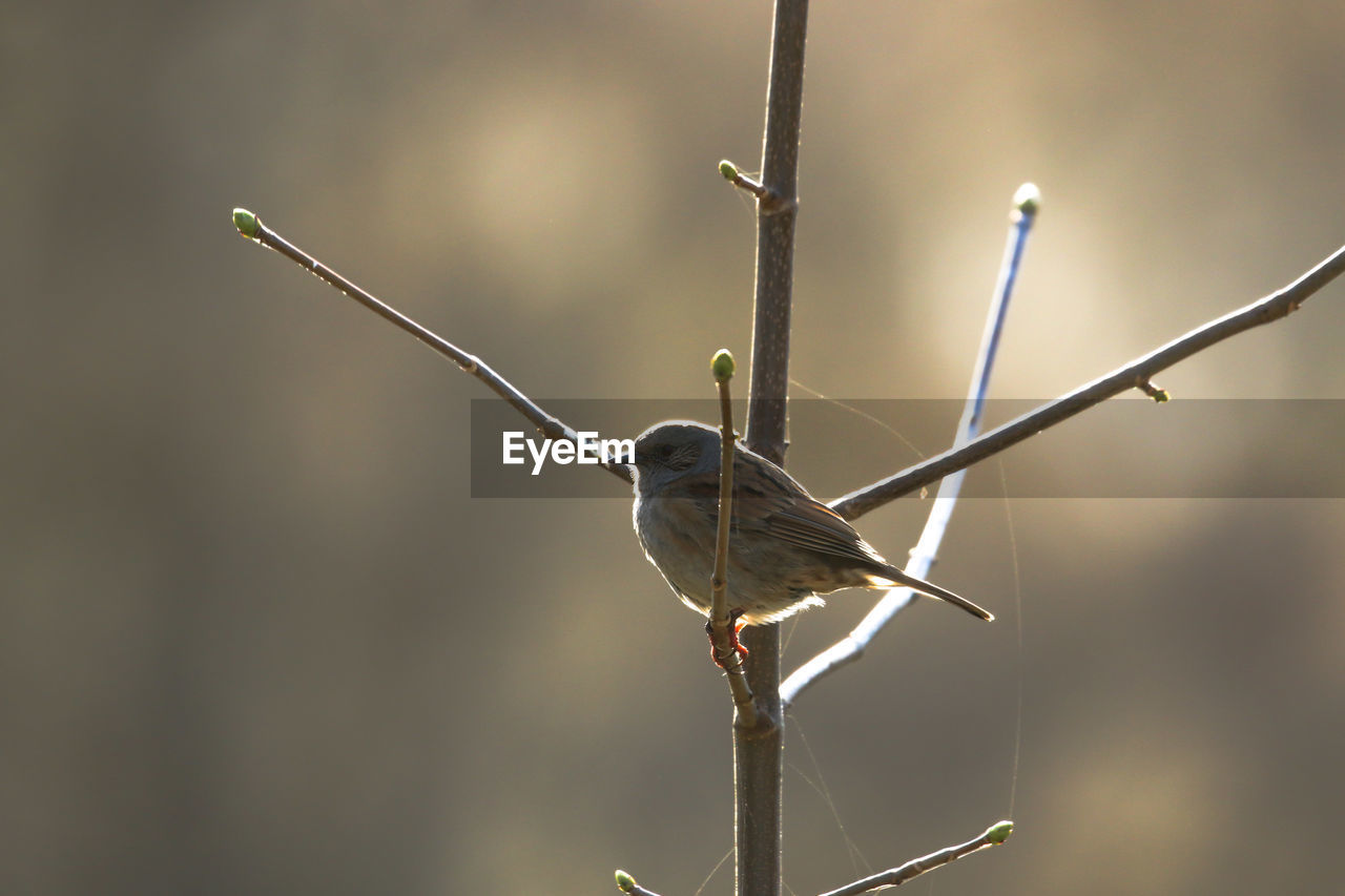 animal, animal wildlife, animals in the wild, one animal, animal themes, bird, vertebrate, perching, focus on foreground, no people, close-up, day, nature, twig, outdoors, plant, hummingbird, selective focus, full length, tree