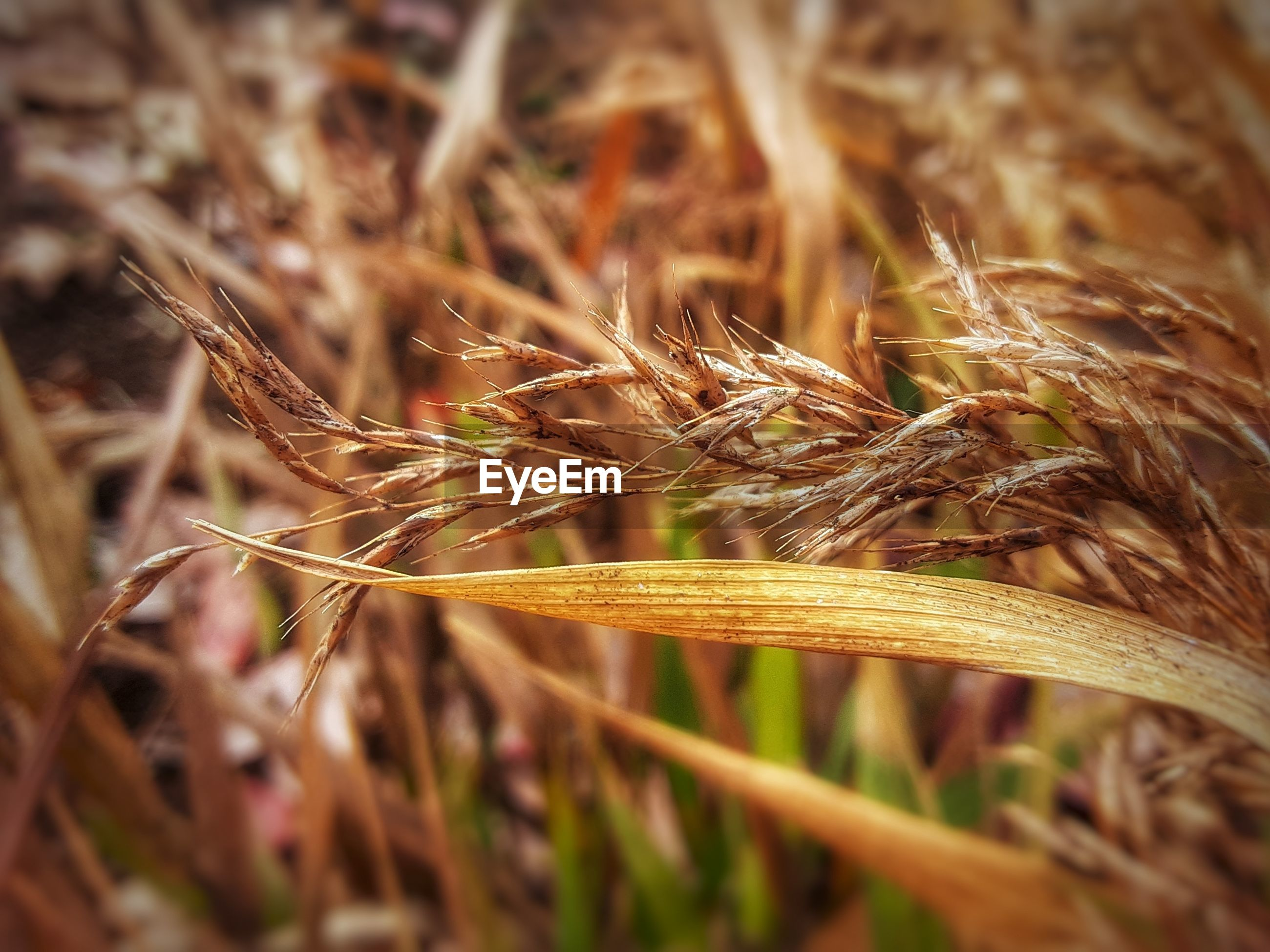 CLOSE-UP OF WHEAT ON FIELD
