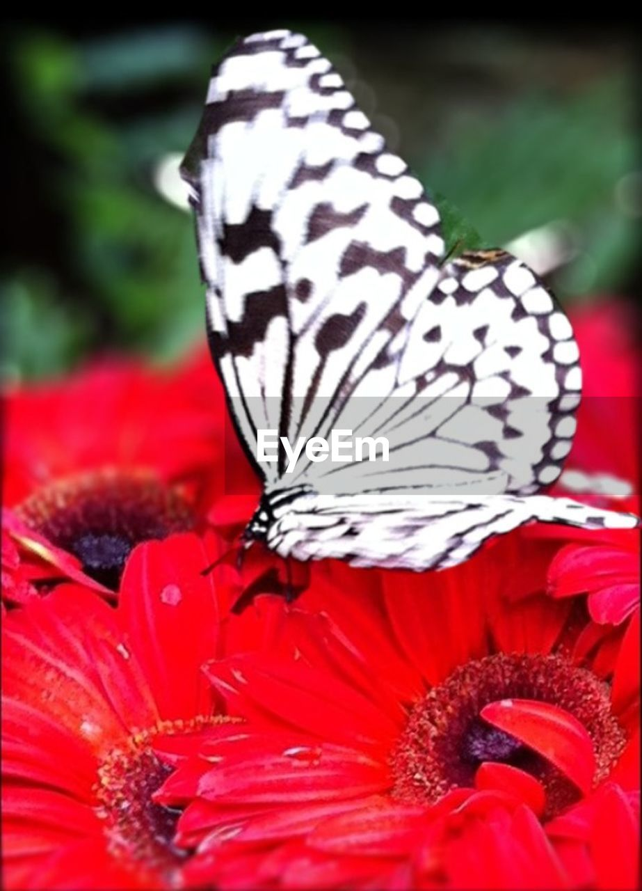 flower, petal, nature, close-up, red, beauty in nature, animal themes, one animal, flower head, fragility, insect, animals in the wild, freshness, butterfly - insect, no people, selective focus, animal wildlife, animal markings, plant, growth, day, outdoors, blooming