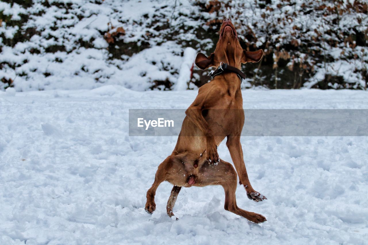snow, animal themes, cold temperature, winter, mammal, animal, dog, domestic animals, canine, one animal, pets, domestic, vertebrate, running, field, nature, brown, land, day, no people, outdoors