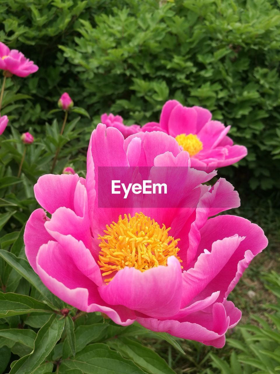 flower, pink color, petal, nature, growth, beauty in nature, plant, freshness, flower head, outdoors, no people, fragility, blooming, day, close-up, leaf, zinnia