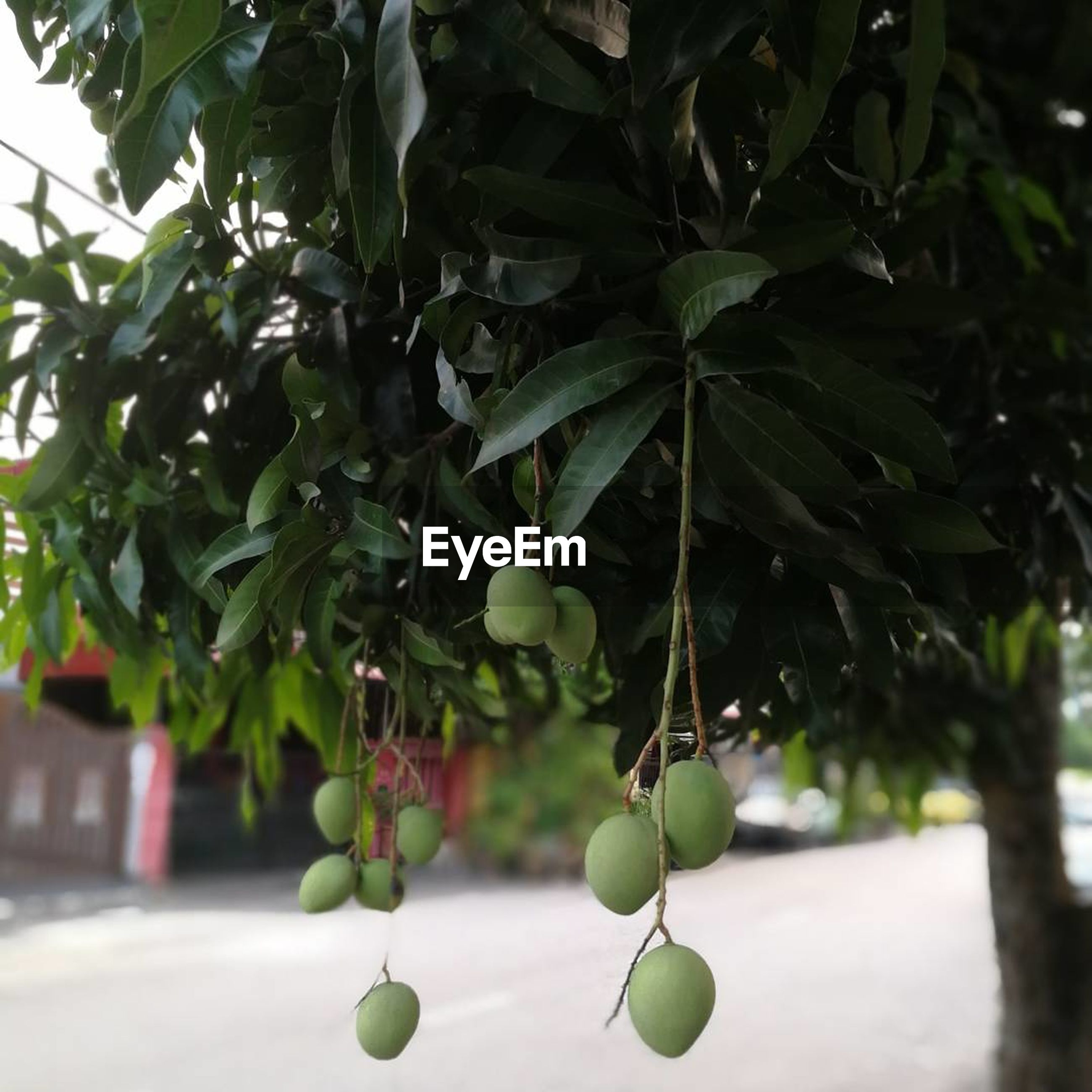 fruit, growth, hanging, tree, leaf, green color, food and drink, citrus fruit, freshness, outdoors, healthy eating, day, no people, nature, orange tree, food, unripe, focus on foreground, branch, plant, beauty in nature, close-up