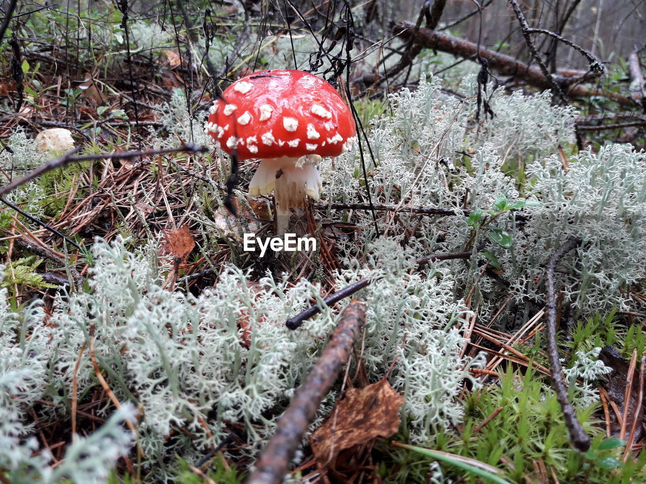 mushroom, fungus, vegetable, growth, food, plant, fly agaric mushroom, land, nature, red, toadstool, day, beauty in nature, forest, field, tree, no people, close-up, freshness, selective focus, outdoors, poisonous, surface level