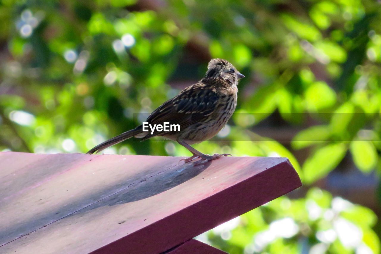 animal themes, animals in the wild, animal, animal wildlife, bird, vertebrate, one animal, perching, day, focus on foreground, wood - material, plant, nature, no people, tree, sparrow, outdoors, close-up, railing, full length