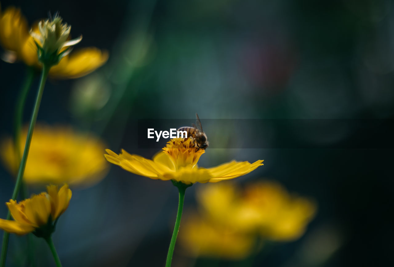 Close-Up Of Bee Pollinating Yellow Cosmos Flower