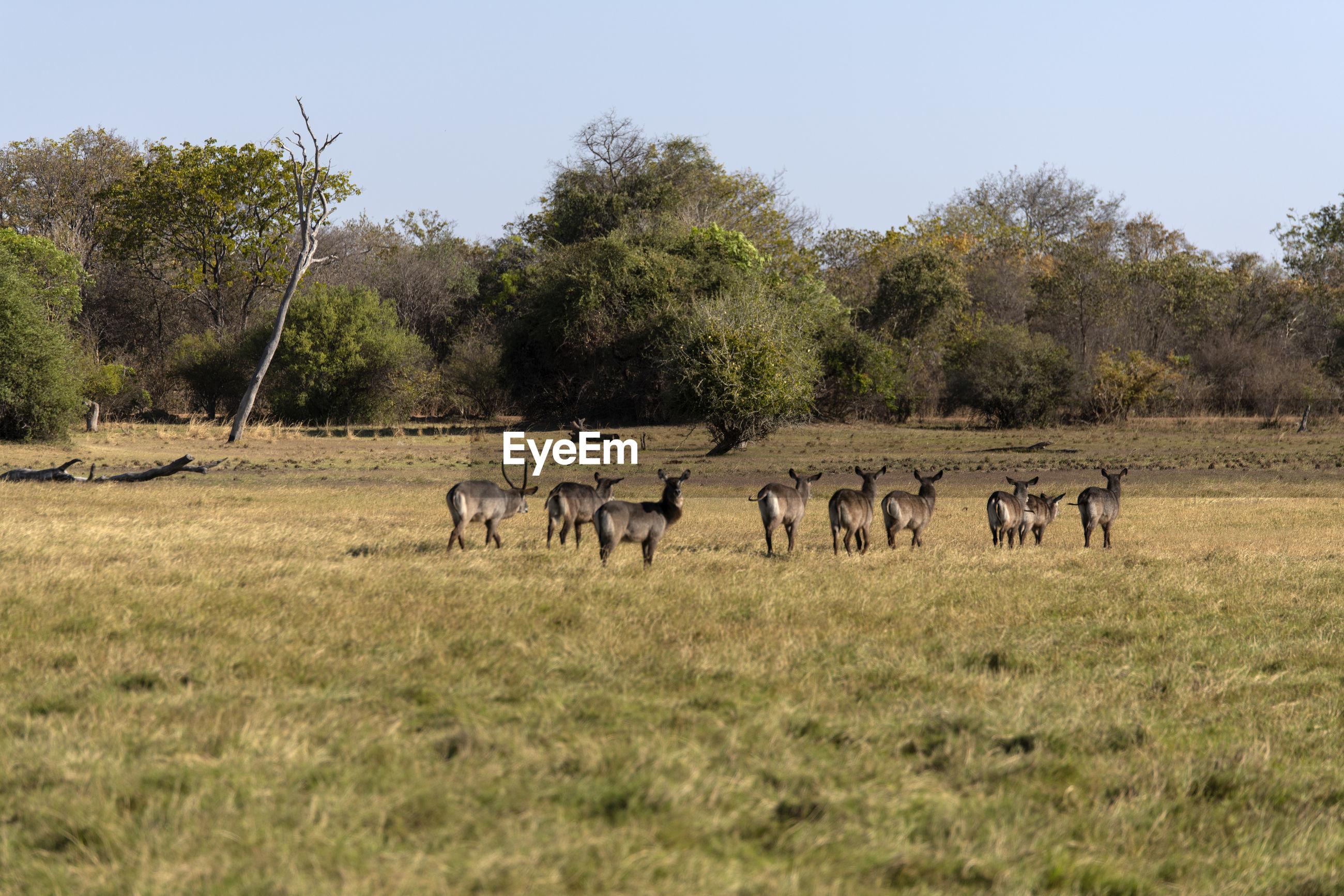 Wterbucks in a field