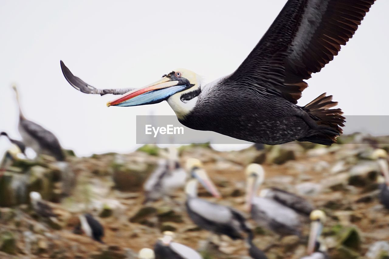 animals in the wild, animal themes, bird, animal wildlife, focus on foreground, one animal, nature, day, beak, no people, outdoors, clear sky, beauty in nature, spread wings, pelican, close-up, crane - bird