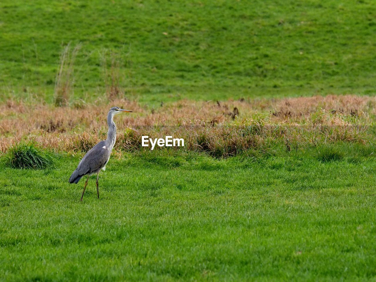 animal wildlife, grass, animal themes, animals in the wild, one animal, vertebrate, animal, bird, plant, land, green color, field, nature, no people, day, side view, environment, growth, landscape, heron