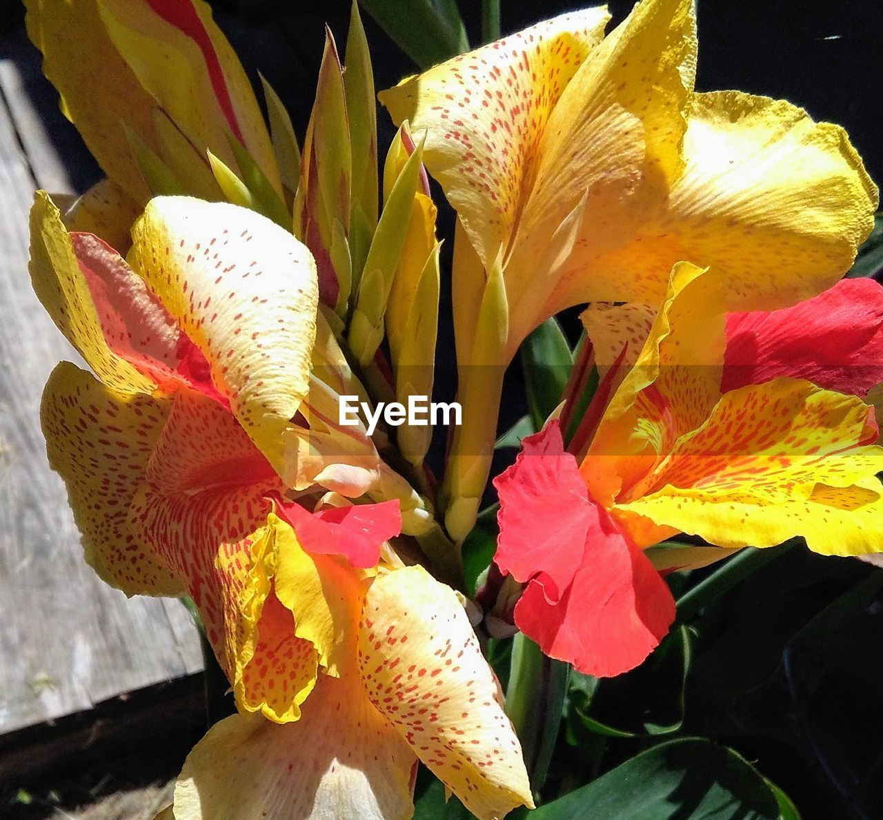 Close-Up Of Day Lily Blooming Outdoors