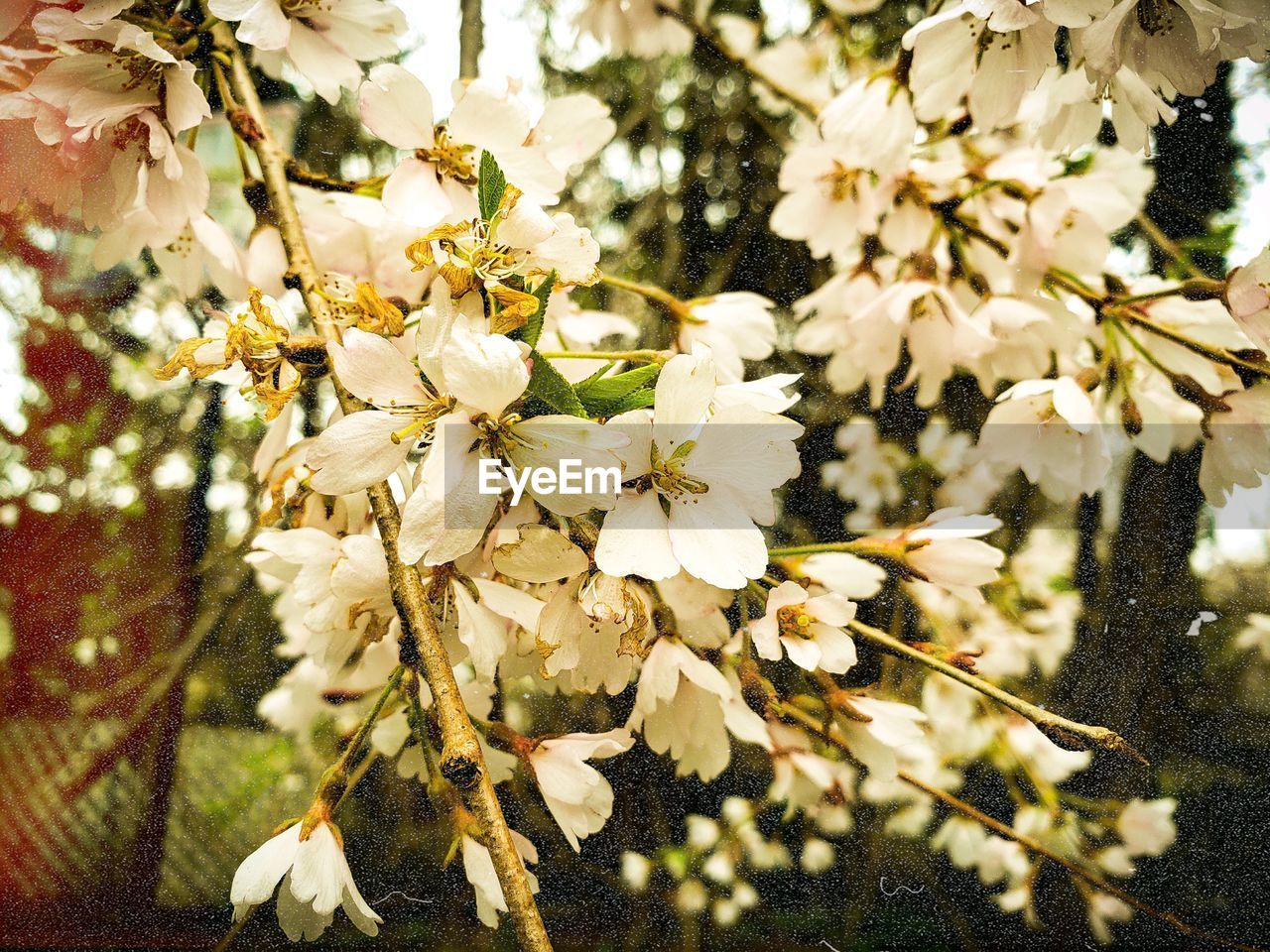 plant, flowering plant, flower, beauty in nature, fragility, growth, vulnerability, tree, freshness, close-up, white color, nature, no people, blossom, branch, day, petal, springtime, flower head, selective focus, pollen, outdoors, cherry blossom, cherry tree, spring